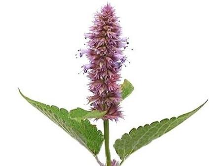 Лофант анисовый: польза и вред, лечебные свойства, выращиваение