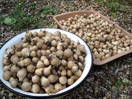 Гриб дождевик: полезные и лечебные свойства, применение, как приготовить съдобный гриб