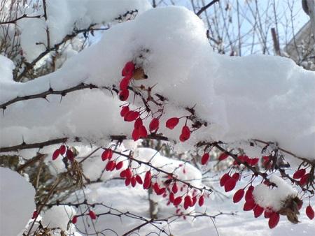 Ягоды барбариса: полезные свойства и вред, применение ягод годжи