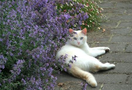 Кошачья мята фото