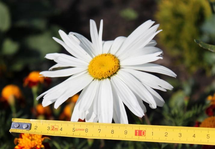Ромашка садовая многолетняя - посадка и уход, размножение 35