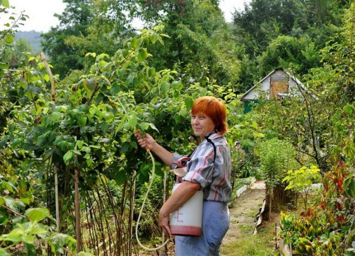 Отличия плюсы и минусы ремонтантных сортов малины от летних, урожайность, вкус, уход, какие сорта выбрать