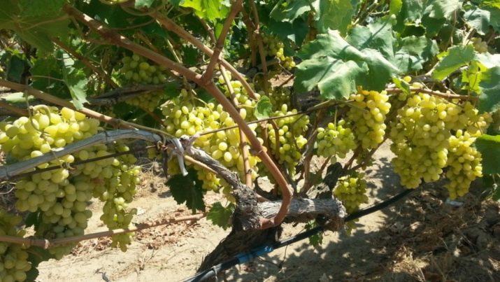 сын, отличный виноград к ш столетие фото описание отзывы удобна