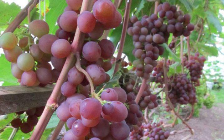 Виноград розовый жемчуг описание сорта фото — Мир цветов