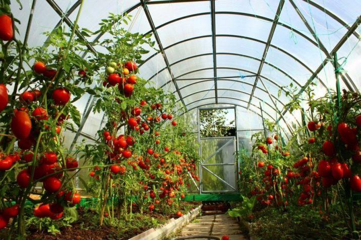 Как сажать помидоры в теплице из поликарбоната схема посадки