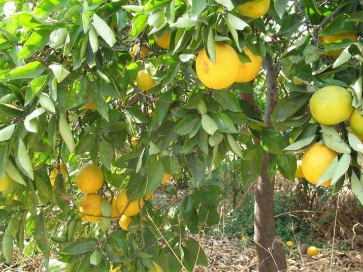Какая страна выращивает самые большие апельсины?