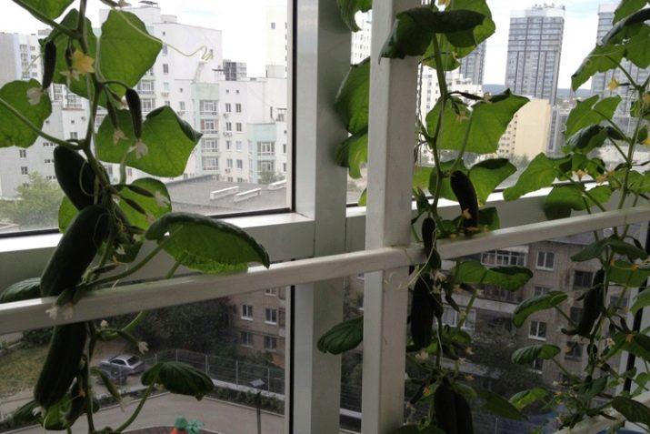 Как прищипывать огурцы на балконе