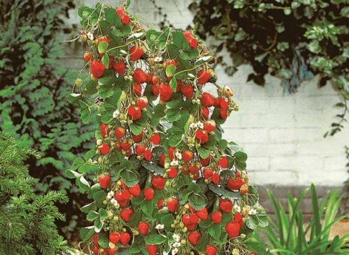 Вьющаяся клубника: описание сортов, выращивание и уход