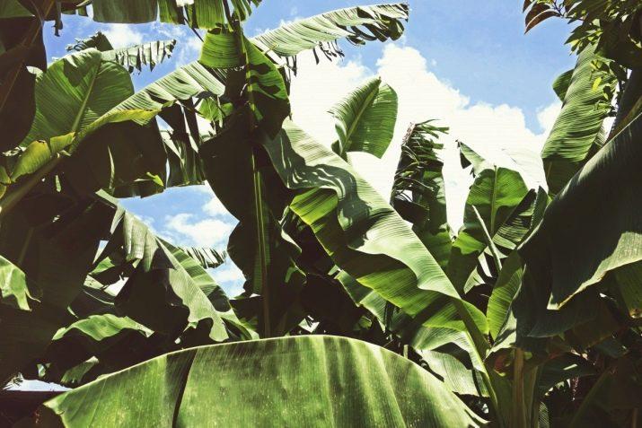 Бананы это дерево или трава