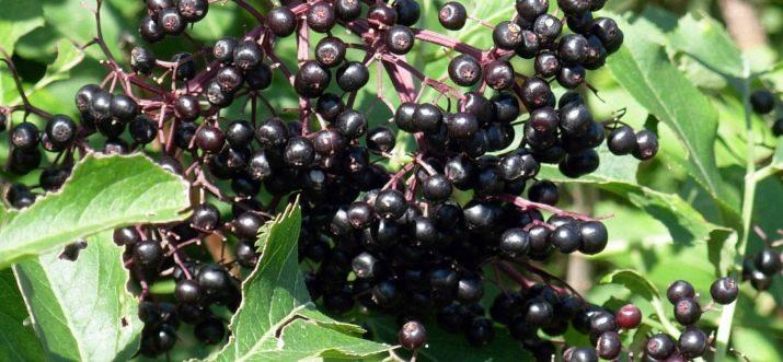 Черная ягода похожая на смородину