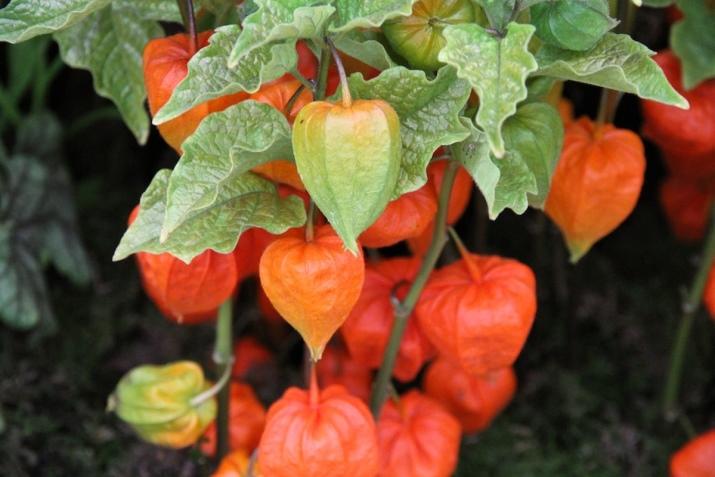 Физалис — оранжевое чудо на даче